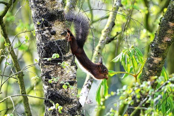 Eekhoorns zijn ware boomaapjes