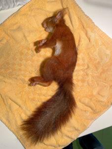Eerste geboortegolf eekhoorns