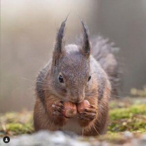 Eekhoorns in de herfst